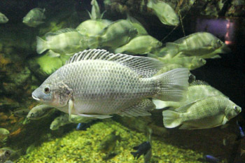 Tilapia Cichlid  edibel fish for aquaponics popular fish for aquaponics