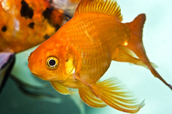 gold fish for easy aquaponics fish indoor aquaponics