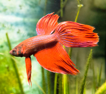 betta fish for aquaponics or siamese fighting fish indoor aquaponics