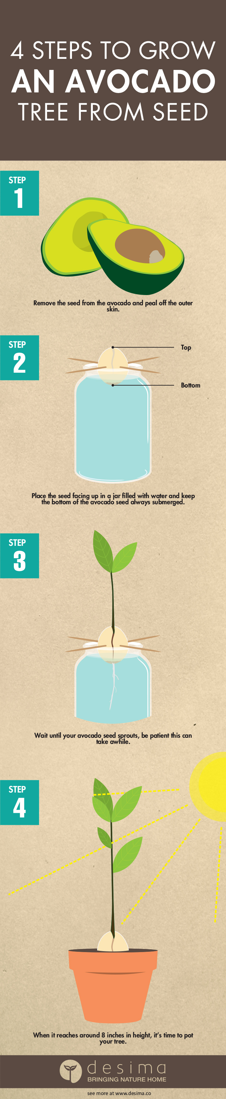 Infographic on how to grow an avocado tree from seed in 4 easy steps.