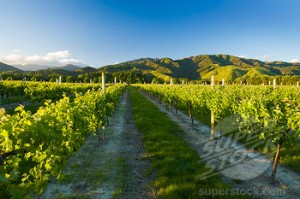 Blenheim Vineyards