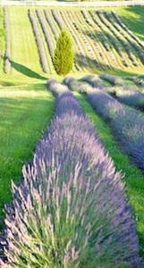 Lavender Farm Virginia