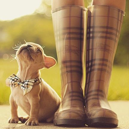 Frenchie wearing a plaid bow tie