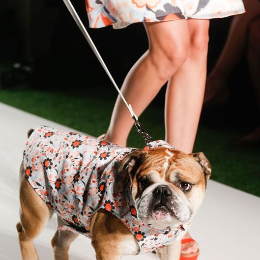 Bulldog on the Mulberry Runway