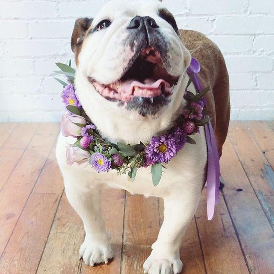 English Bulldog Wearing Purple Bridal Flower Necklace