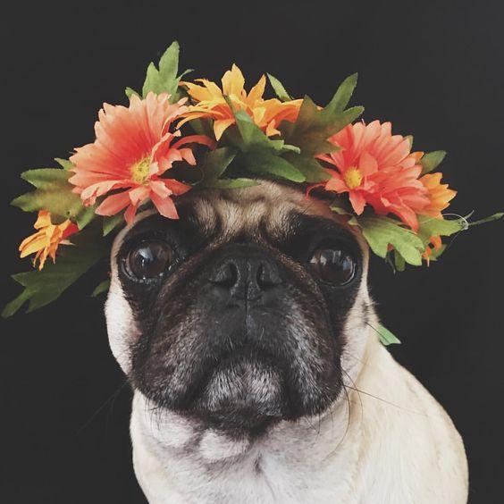 LunathePugg on Instagram Pug Wearing Peach and Orange Colorful Flower Crown