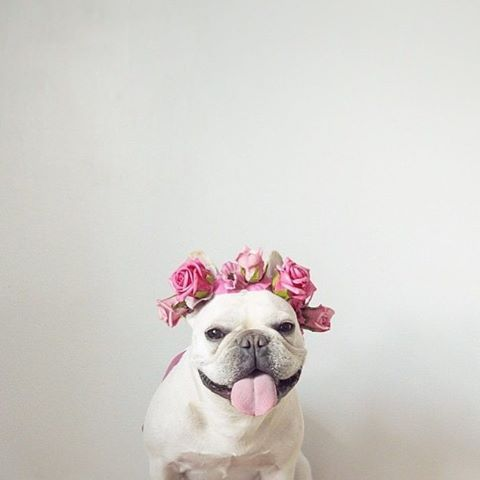 @miss_molly_frenchie wearing flower crown