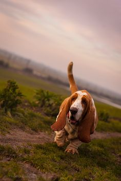 Bassethound 500px Photograph by Thomas Sewell