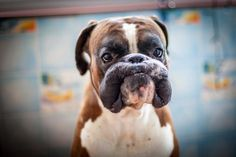Wrinkly Boxer Dog Making a Silly Face