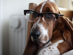 Basset Hound wearing glasses
