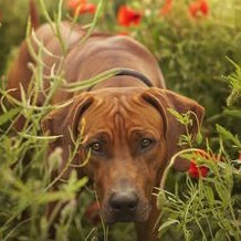 Full Grown Rhodesian Ridgeback with Wrinkly Furrowed Forehead