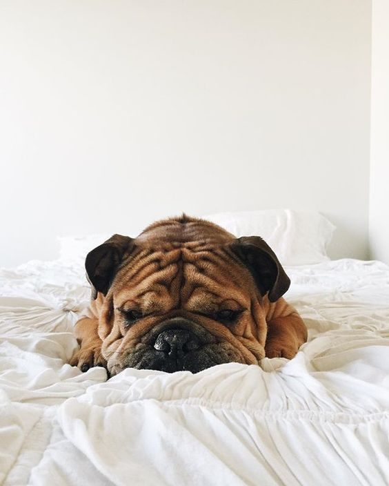 Wrinkly English Bulldog Naps in Bed