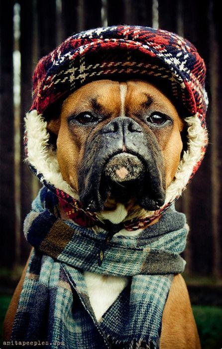 Boxer Wearing Winter Gear