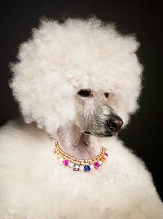Poodle Wearing Colorful Jeweled Necklace
