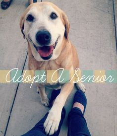 Adopt a Senior - Golden Labrador Rescue Dog