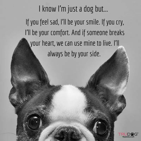 Boston Terrier with Dog Quote