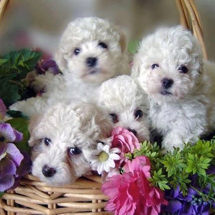Flowery Basket Filled With White Puppies