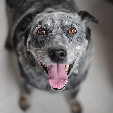 Sprinkles the Australian Cattle Dog/Blue Heeler