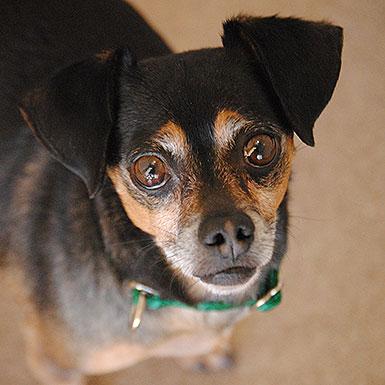 Pepe the Chihuahua Dachshund