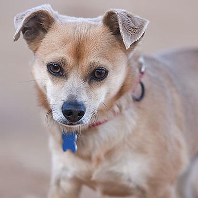 Timber the Chihuahua