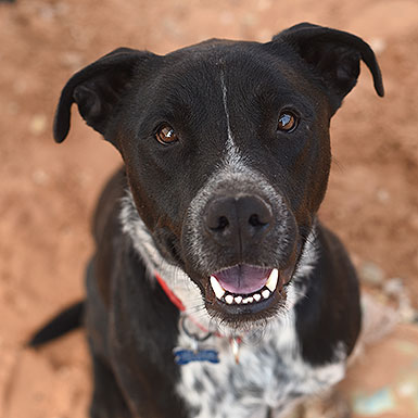 Cody the American Pitbull Terrier