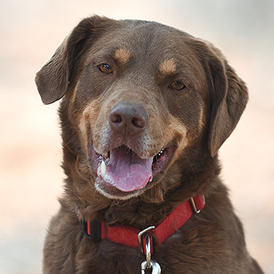 Akita the Labrador Retriever