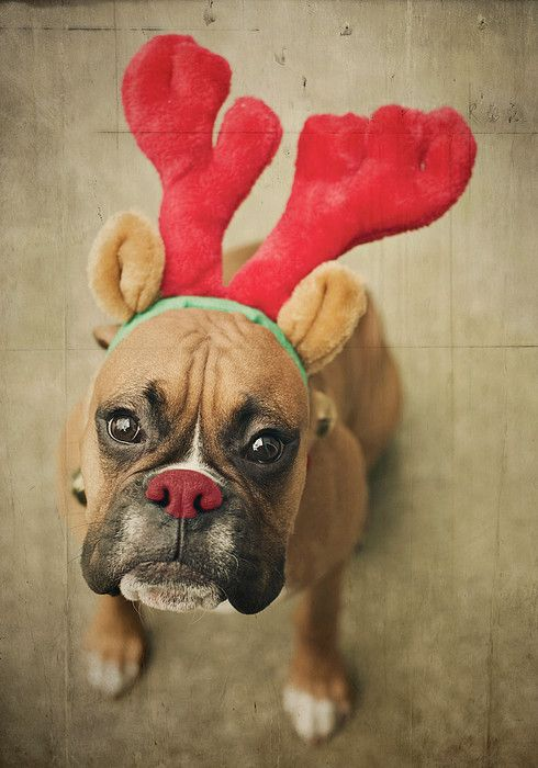 Funny Boxer Dog Wearing Reindeer Headband & Red Nose Makeup