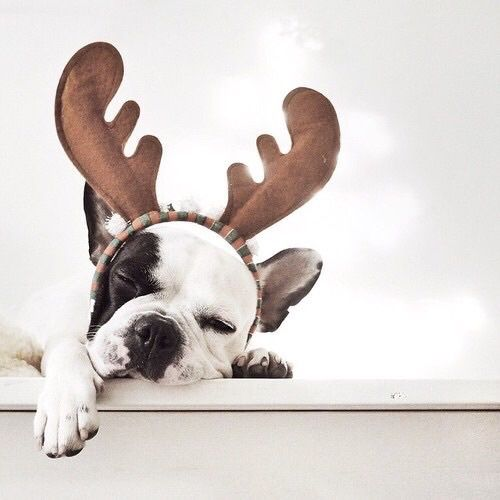 French Bulldog Wearing Reindeer Antlers