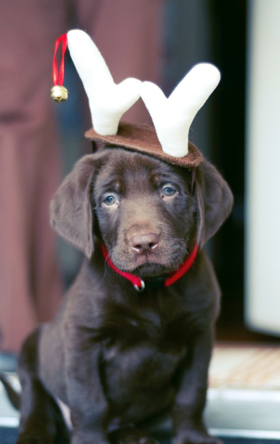 Chocolate Labrador Puppy wearing Christmas Gear