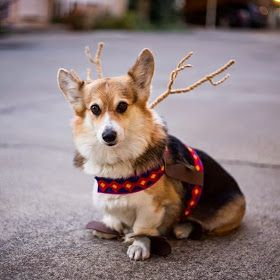 The Daily Corgi - Reindeer