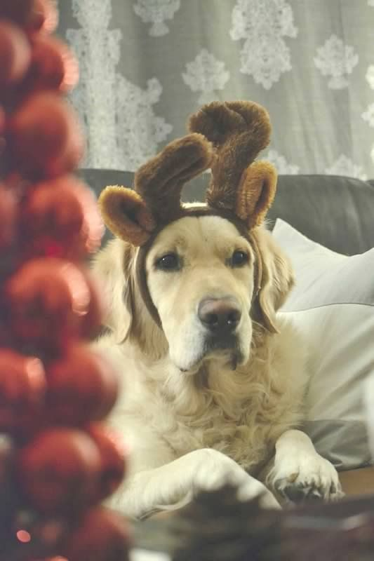Golden Retriever Reindeer Antlers