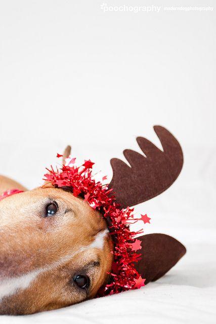 Poochography - Bull Terrier Reindeer