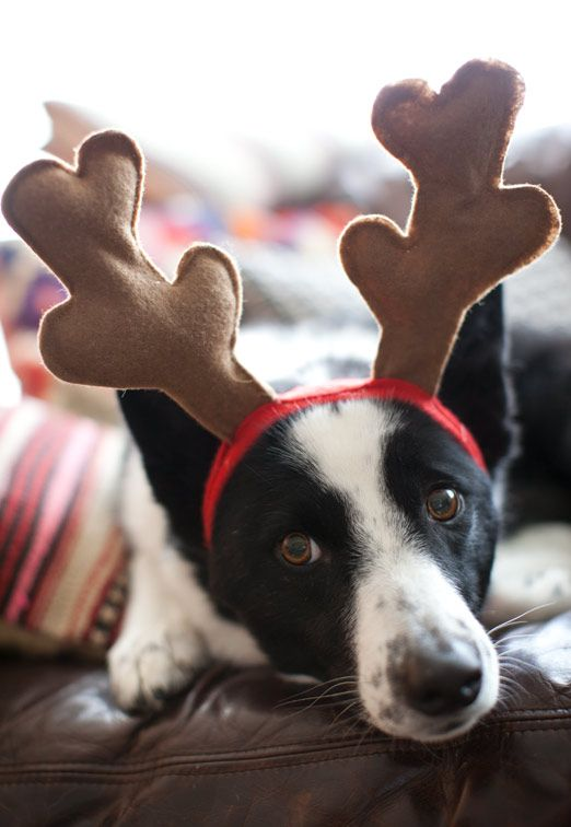 Reindeer Border Collie
