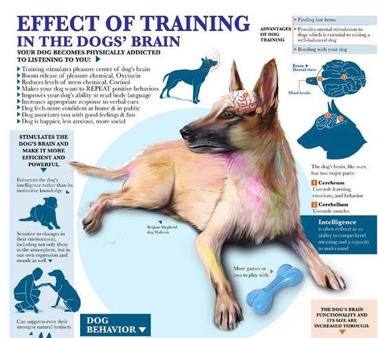 Effect of Training on Your Dog's Brain Infographic