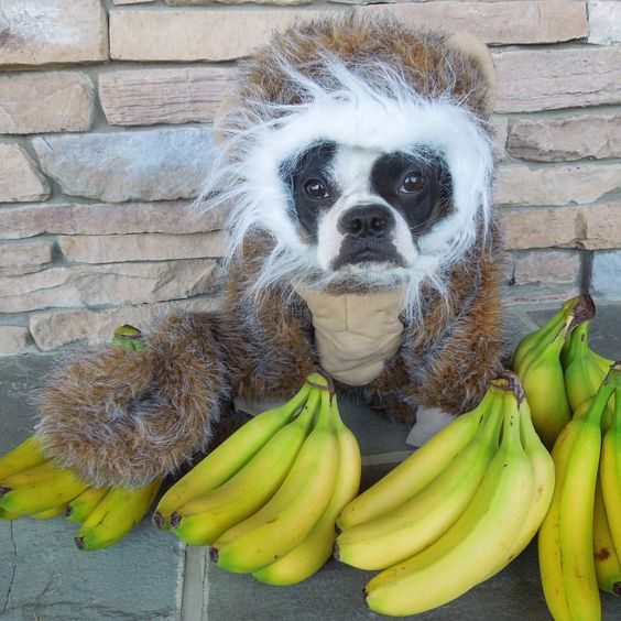 Monkey Bananas Dog Halloween Costume