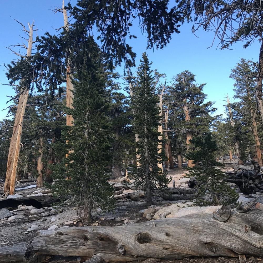 sierra-trees-day-2.jpg