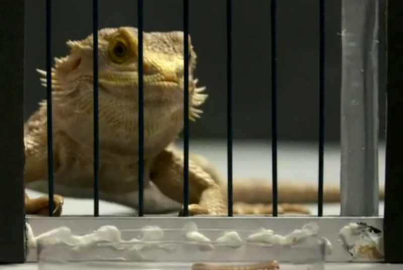 A light-coloured lizard, the bearded dragon, stares through the bars of a gate to some food on the other side. Click on the photo to go to the CBC's episode site with on-demand described video.