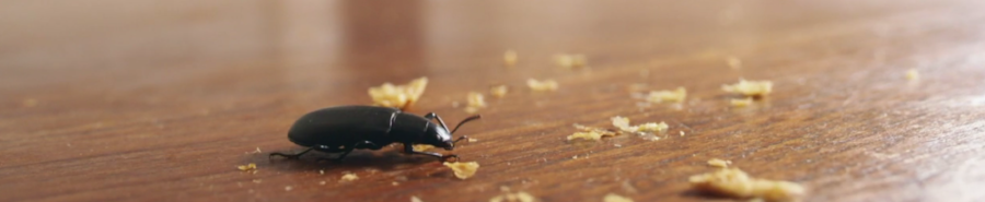 A black beetle eats cereal crumbs on a table.