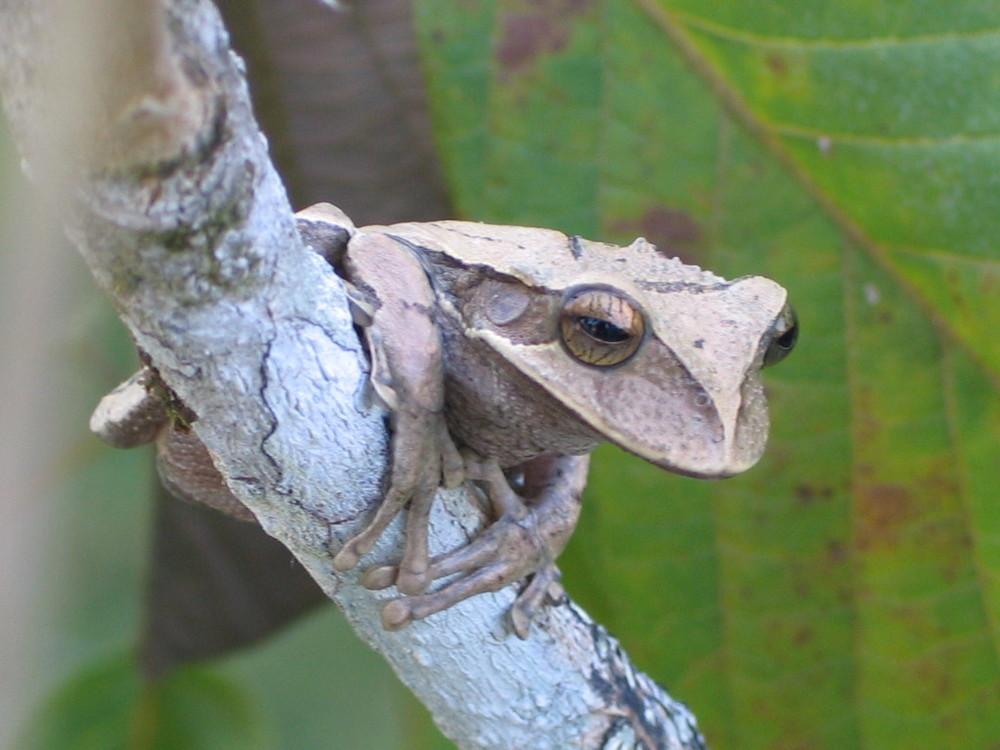 Gastrotheca sp. |Los Llanos, Venezuela