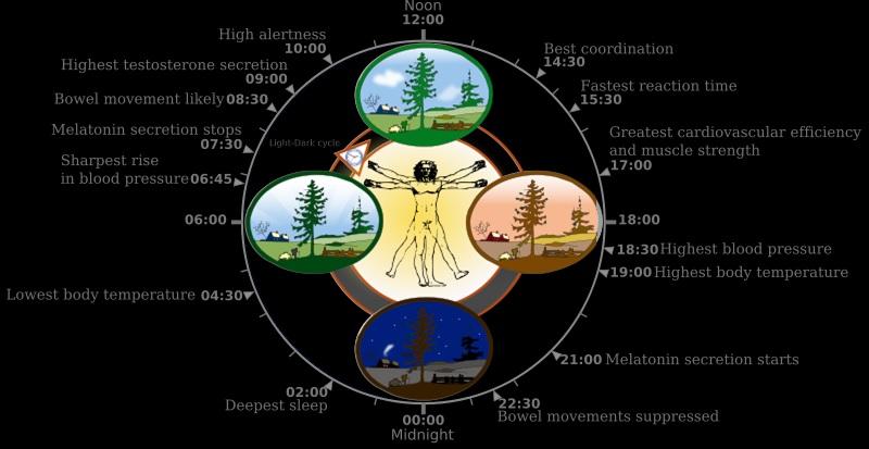 circadien cycle.jpg