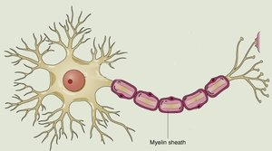 Illustration of myelin sheath.