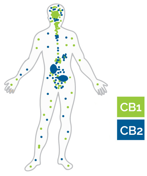 An illustration of CB1 and CB2 receptors in the body and brain.
