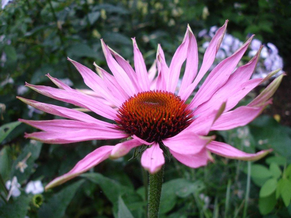Echinacea plant stimulates the endocannabinoid system.