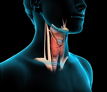 An illustration of the the thyroid gland. People with depression are often hypothyroid.