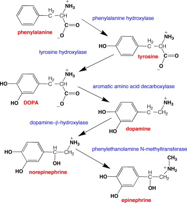 An image showing how phenylalanine is converted tyrosine and then to dopamine. Supplementing with phenylalanine and/or tyrosine can increase dopamine.