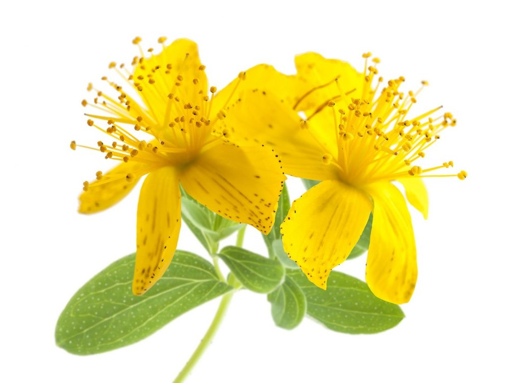 An image of the St. John's Wort plant.