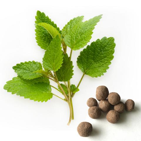 Lemon balm (Melissa officinalis) plant. Lemon balm has been shown to reduce stress and anxiety.