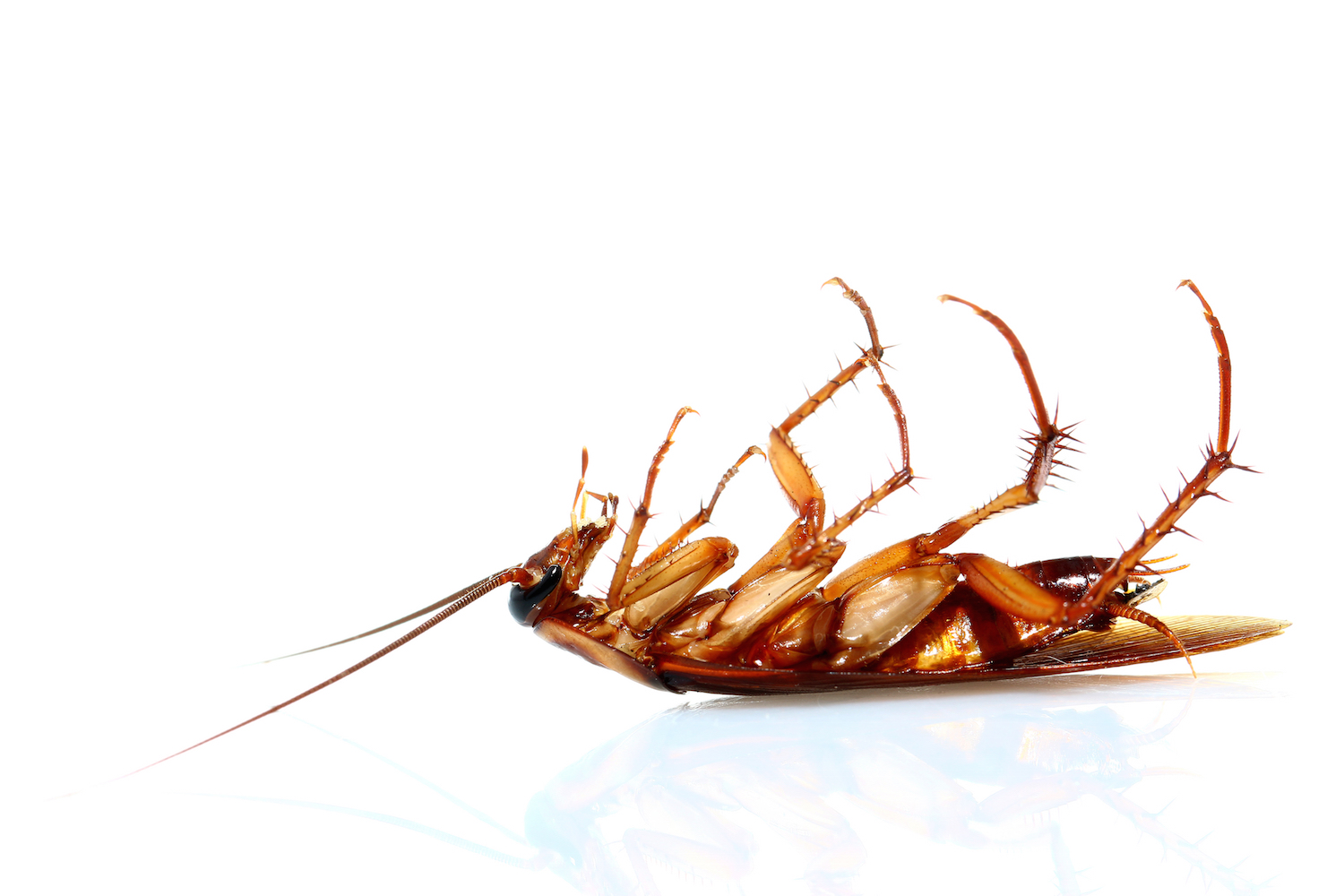 Specialised cockroach control treatments   Gold Coast