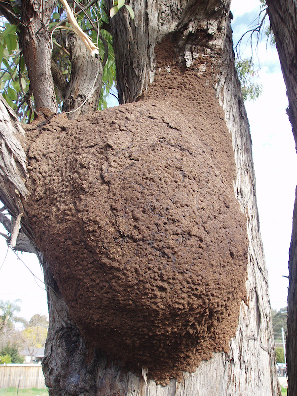 Termite Droppings Frass or Pellets What Do They Look Like