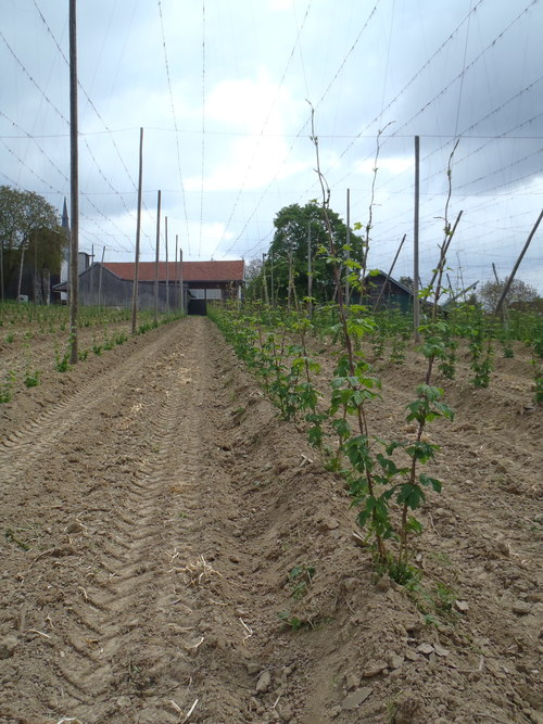 Freshly hilled-up hop field in early spring
